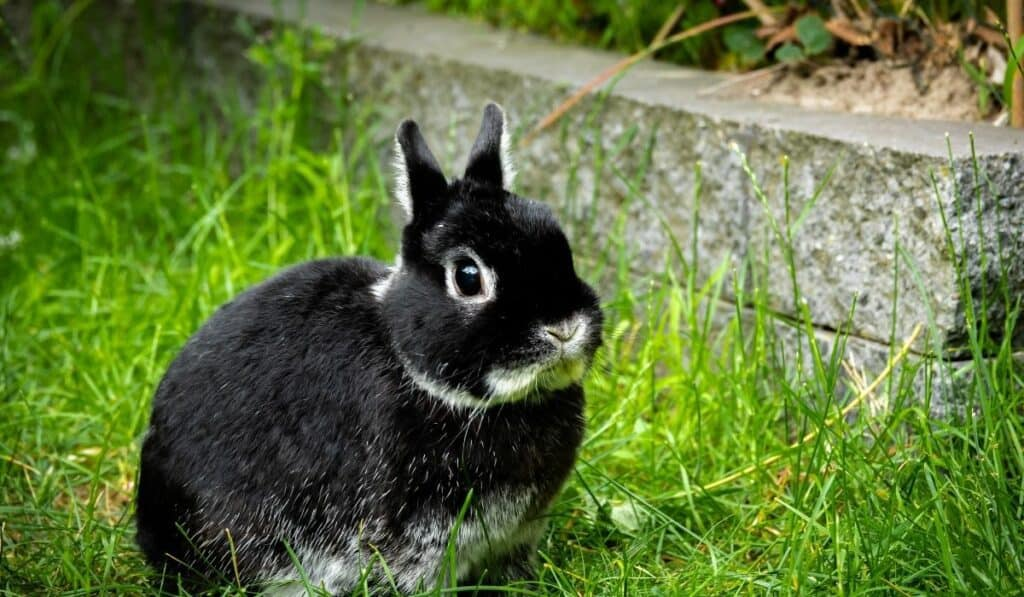 Black Netherland Dwarf Rabbit