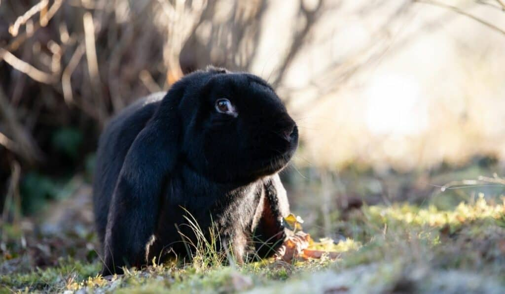 Black English Lop Rabbit