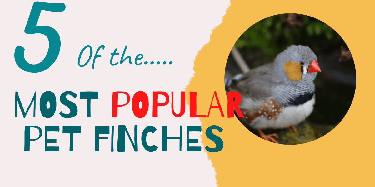 Types of finches