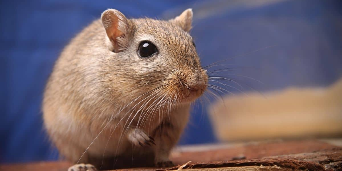 gerbil lifespan