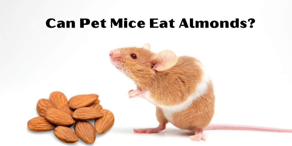 can pet mice eat amlonds