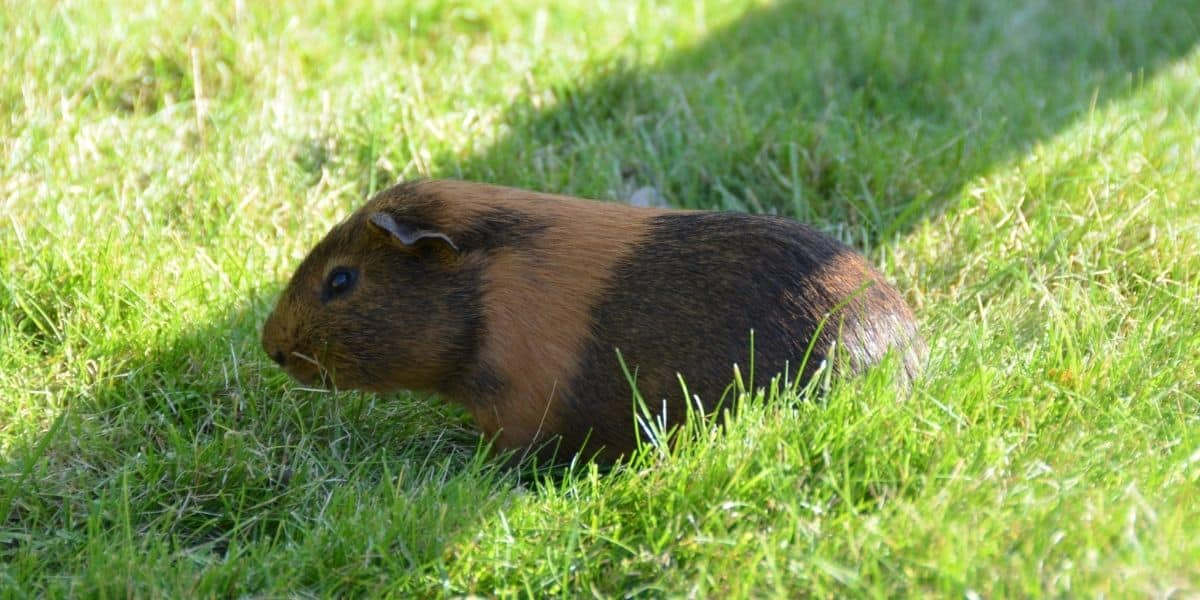 guinea pig in the wild