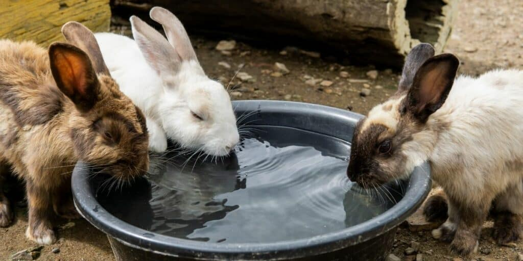rabbit drinking from a water bowl