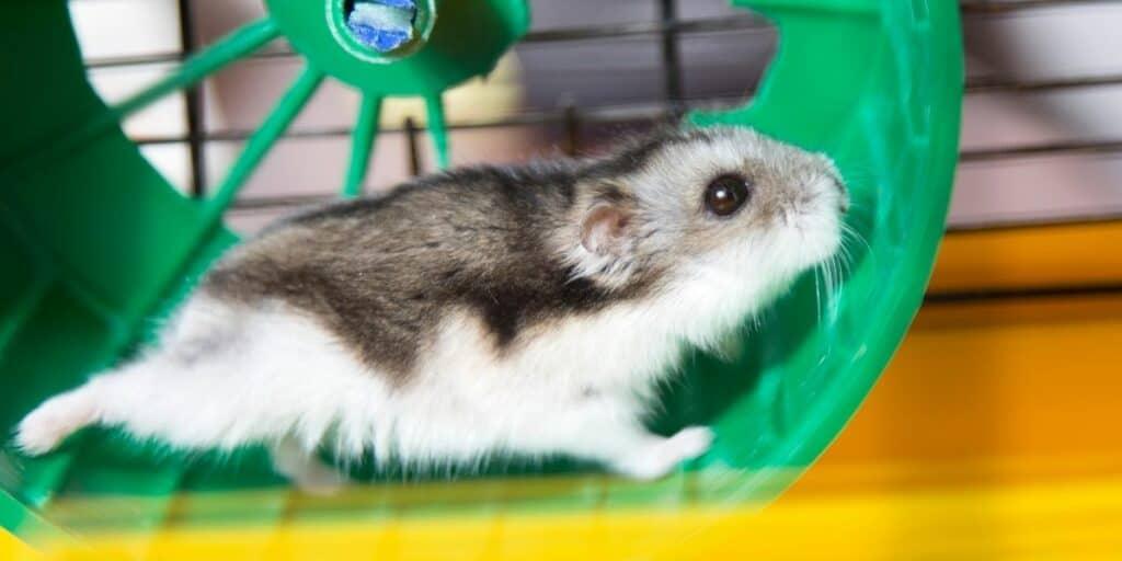 hamster running