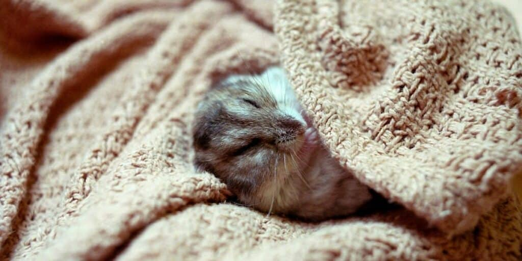 Hamster keeping warm