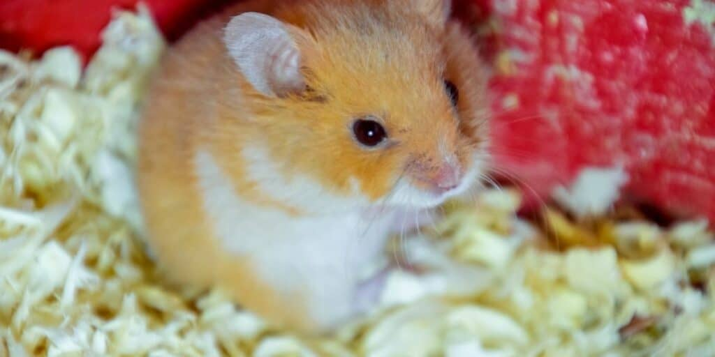 hamster in bedding