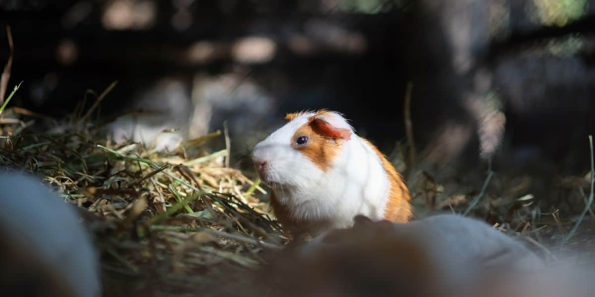 Guinea pig at night