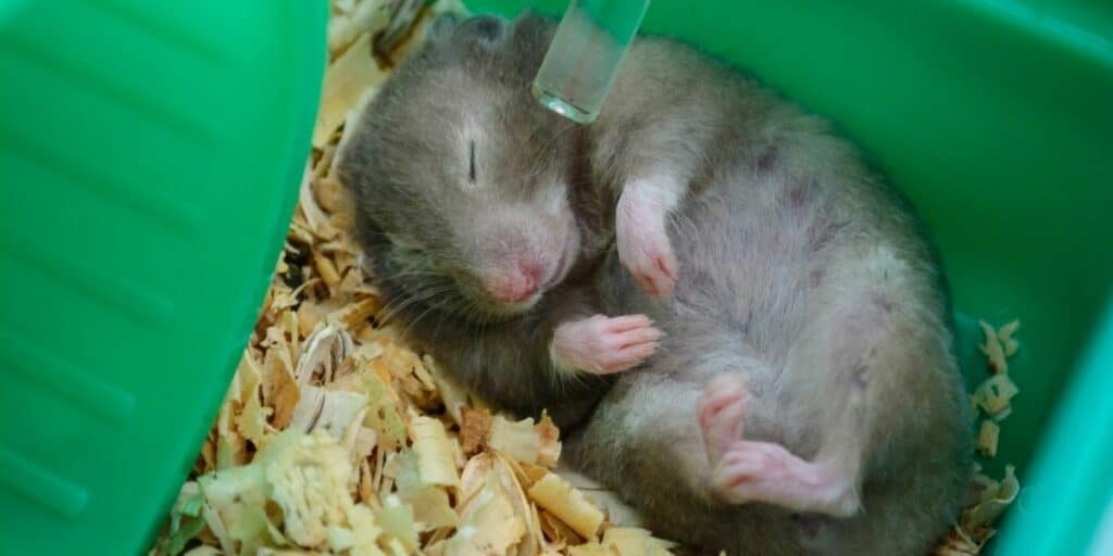hamsters playing dead