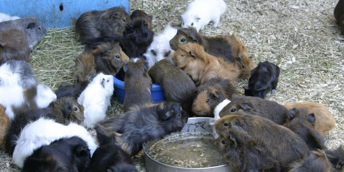 lots of guinea pigs
