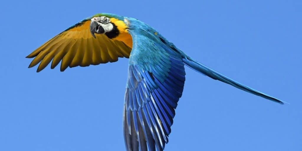 macaw facts