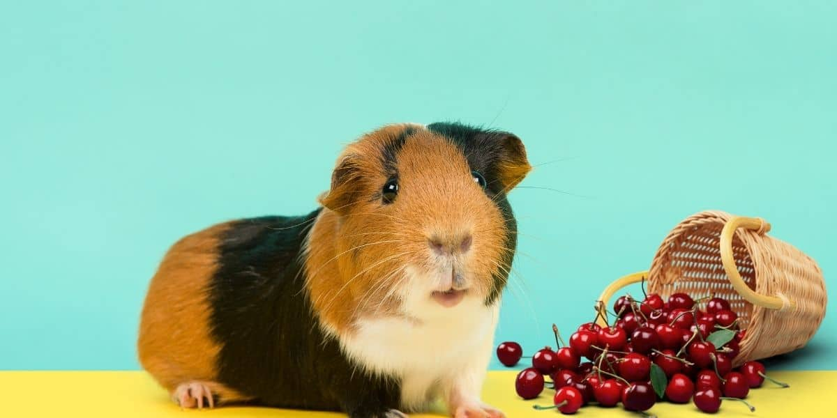 guinea pig esting cherries