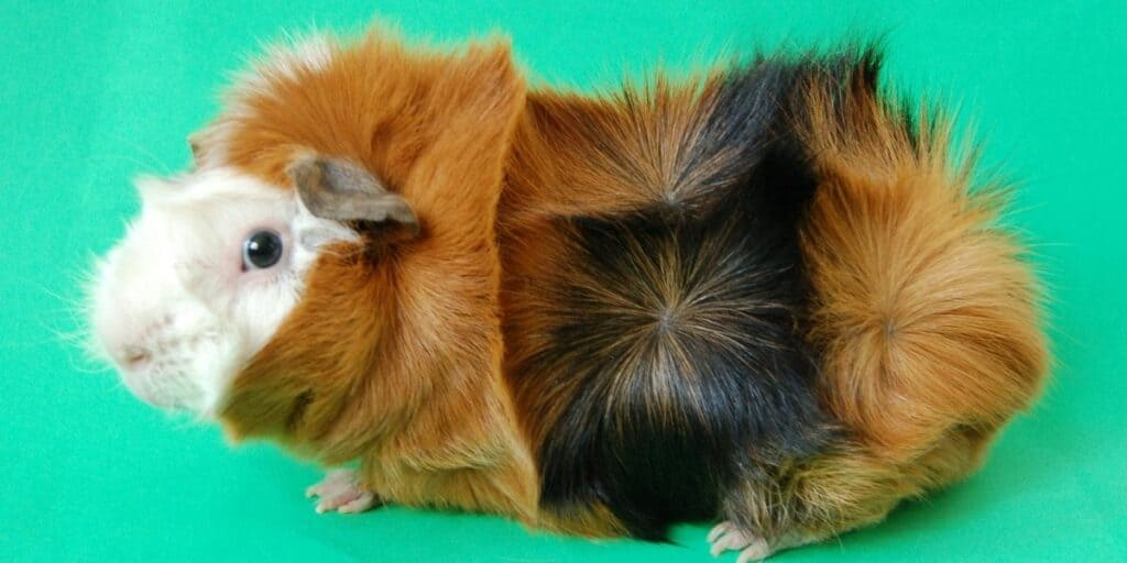 Abyssian Guinea Pigs