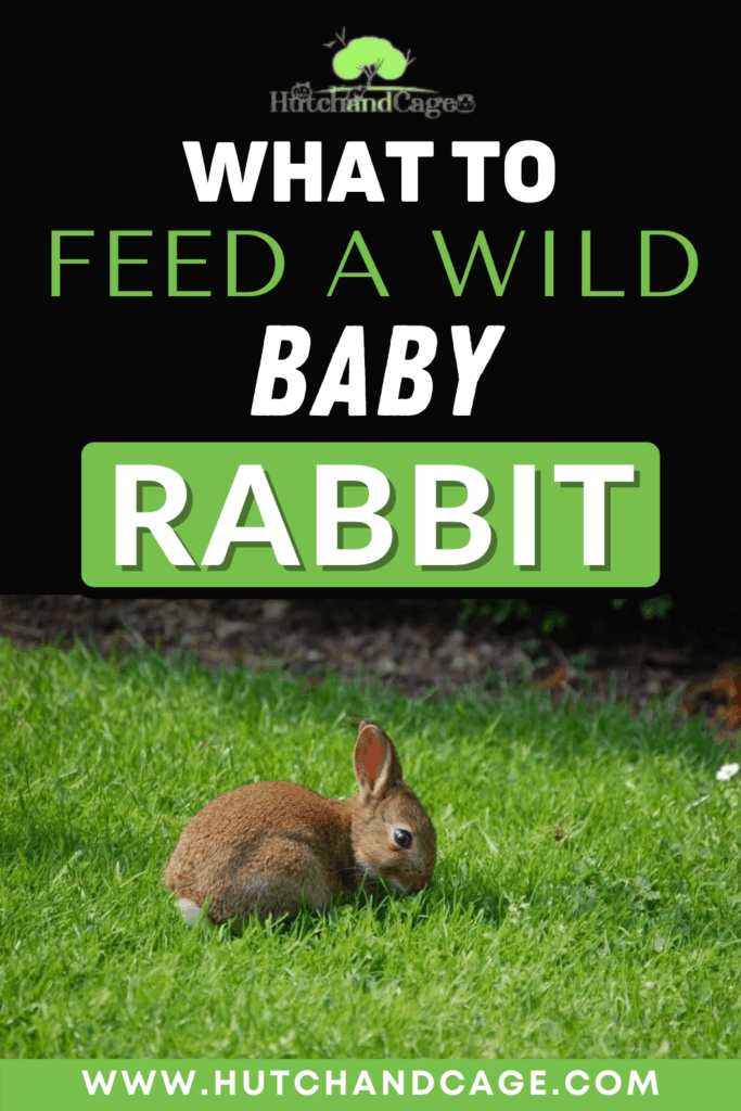What to feed a wild baby rabbit