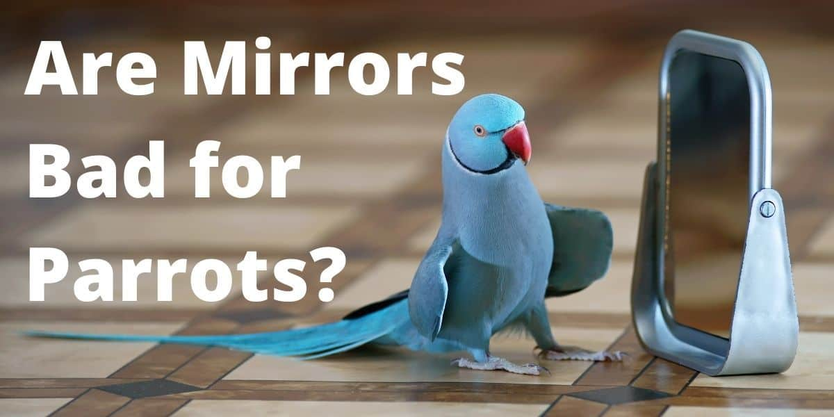 parrot and a mirror
