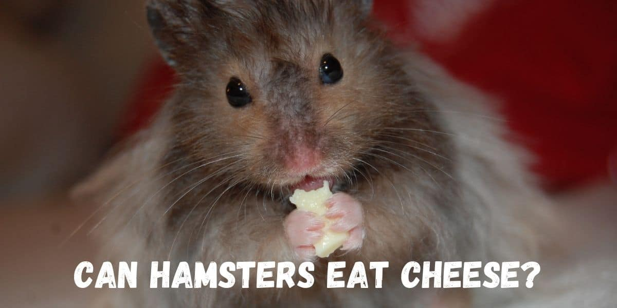hamster eating some cheese