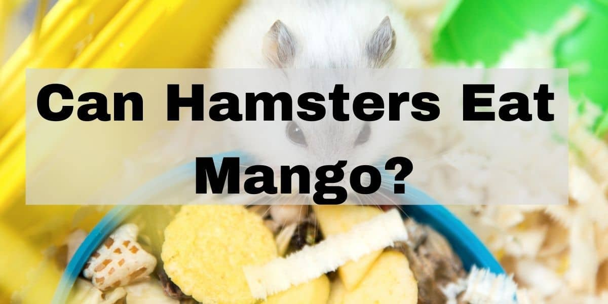 can hamsters eat mangos