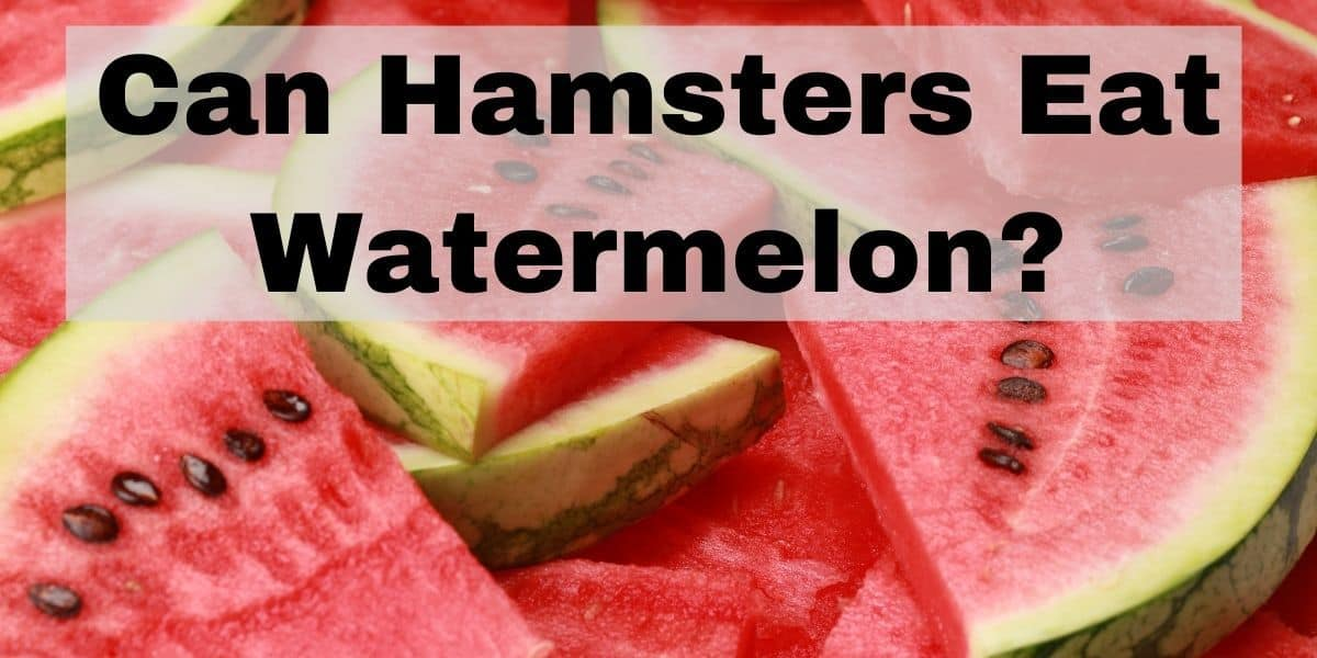 Can Hamsters Eat Watermelons?