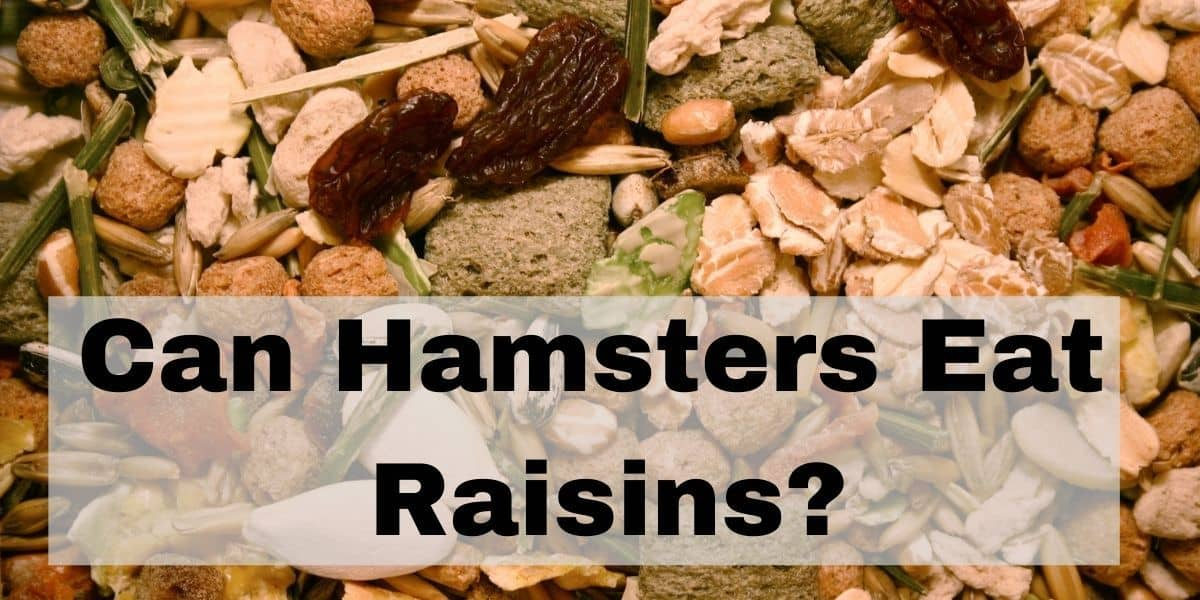 can hamsters eat raisins