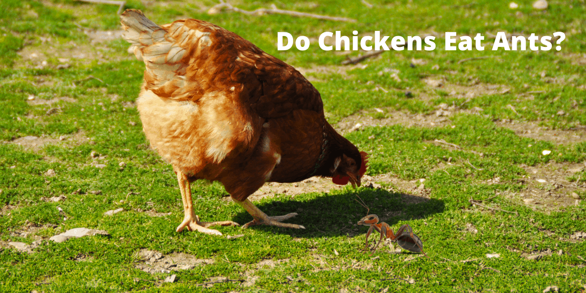 chickens and ant
