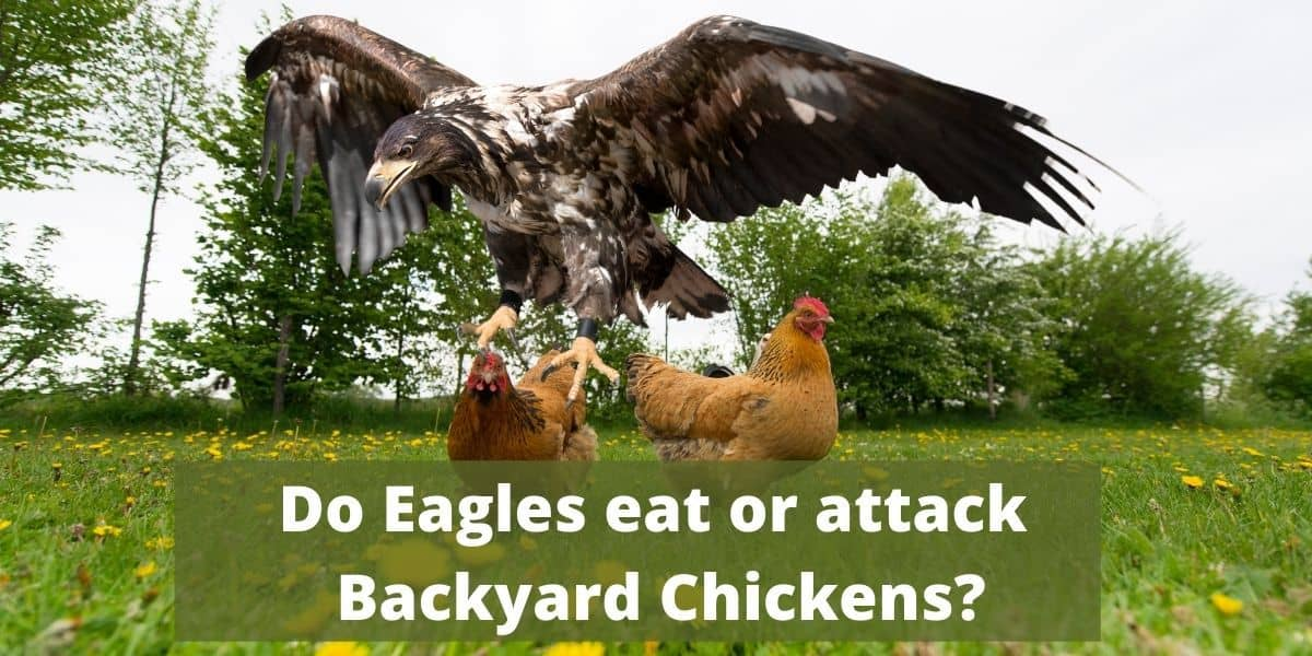 eagles eat or attack backyard chickens