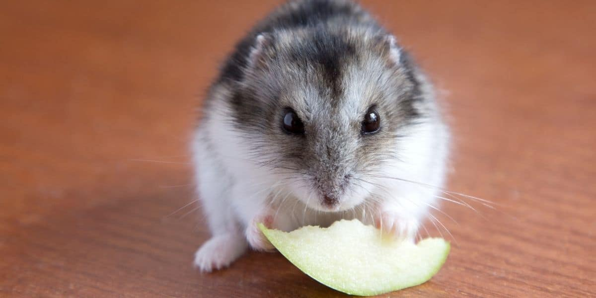 hamster eating an apple