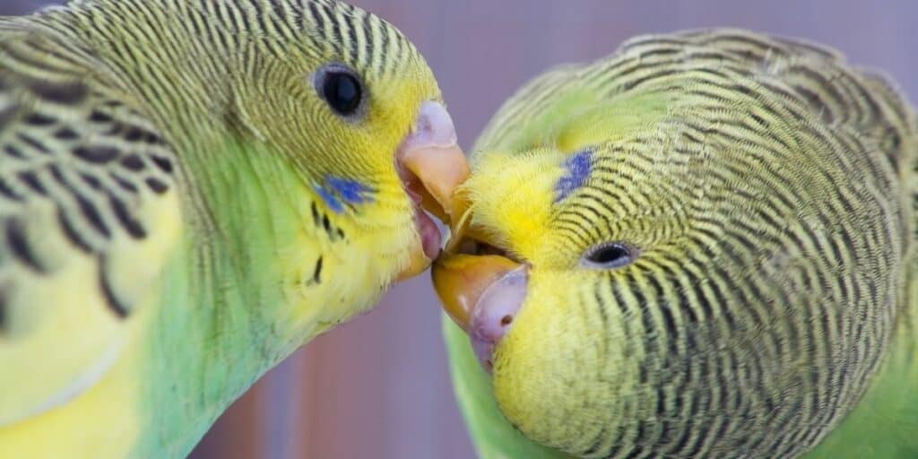 two budgies playing