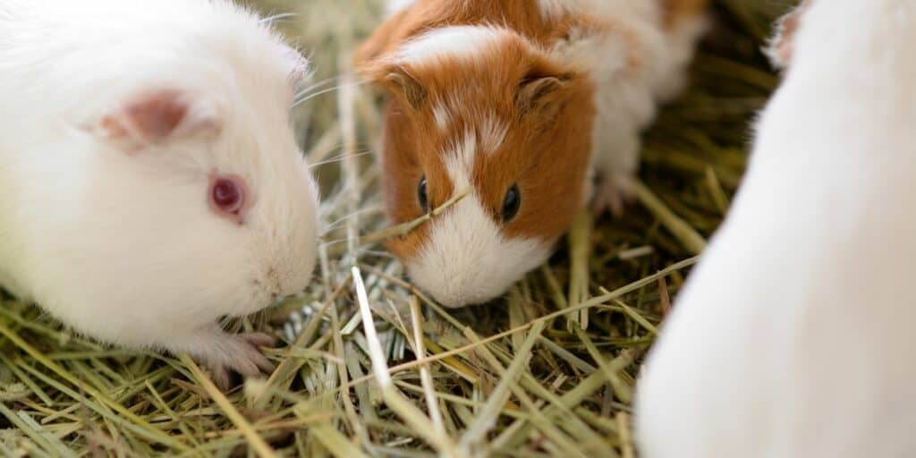 types of guinea pig hay