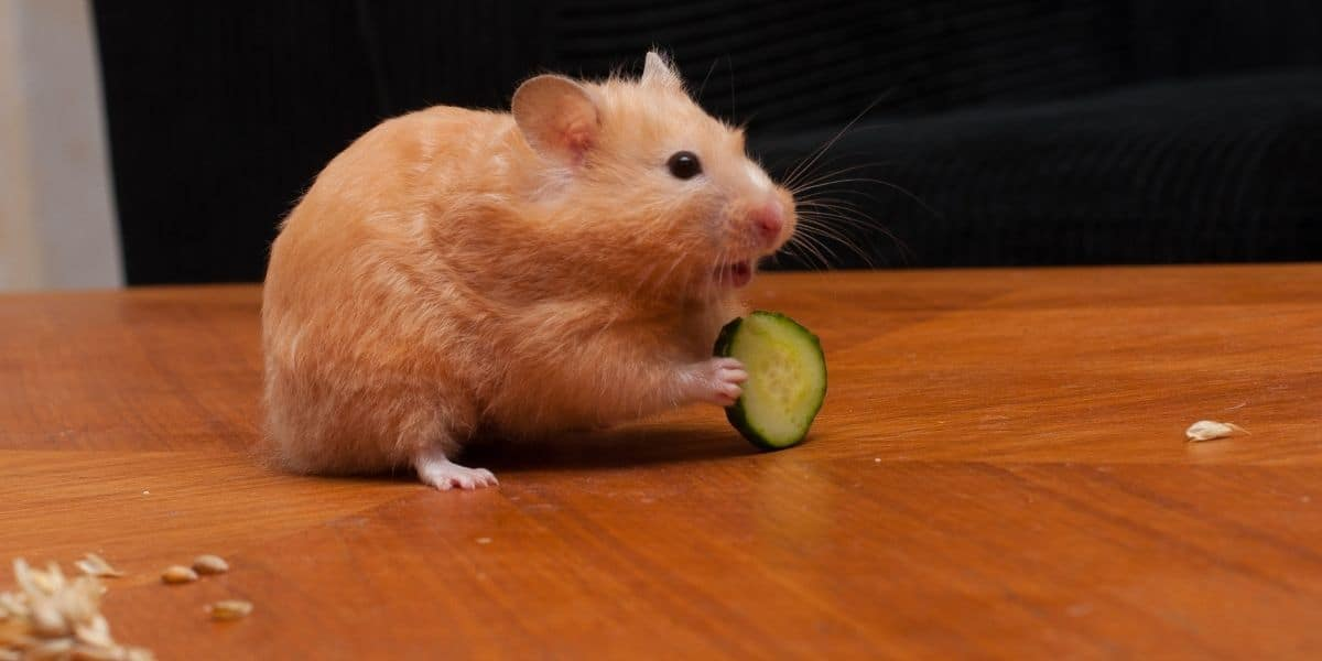 hamster eating cucumber