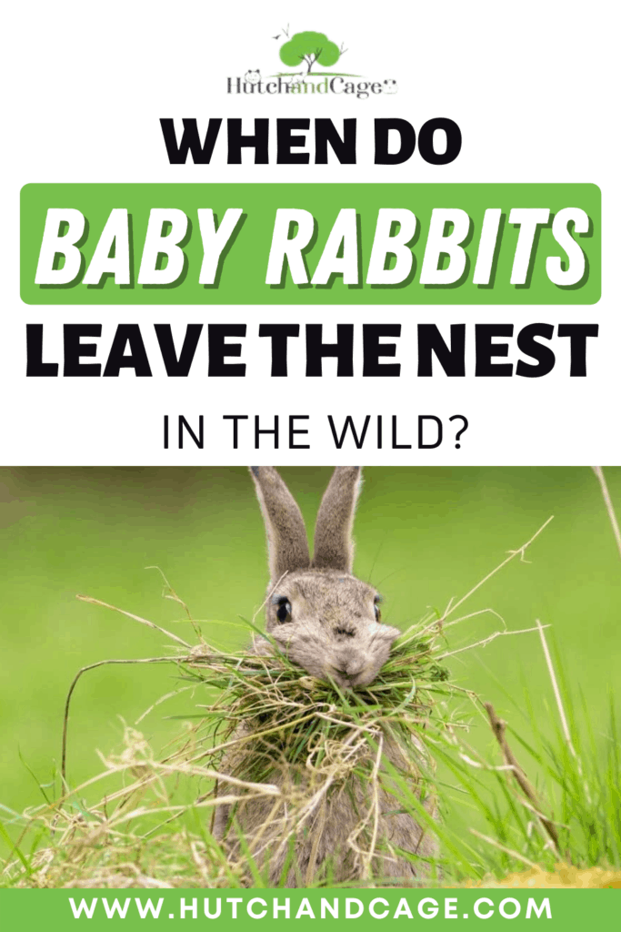 when do baby rabbits leave the next