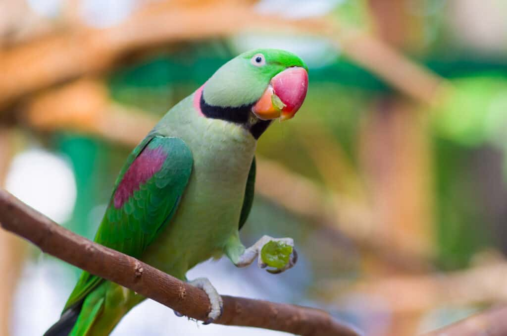 parrot eating grapes