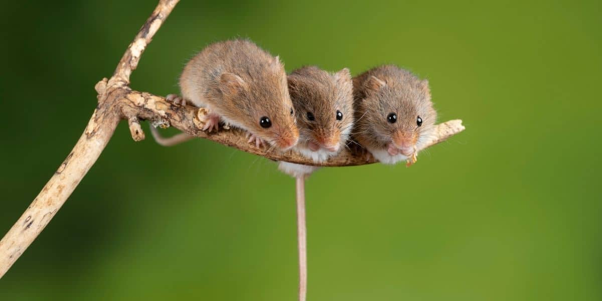 what is a group of pet mice called