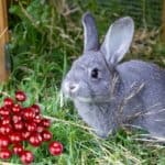 Can Rabbits Eat Dried Cranberries