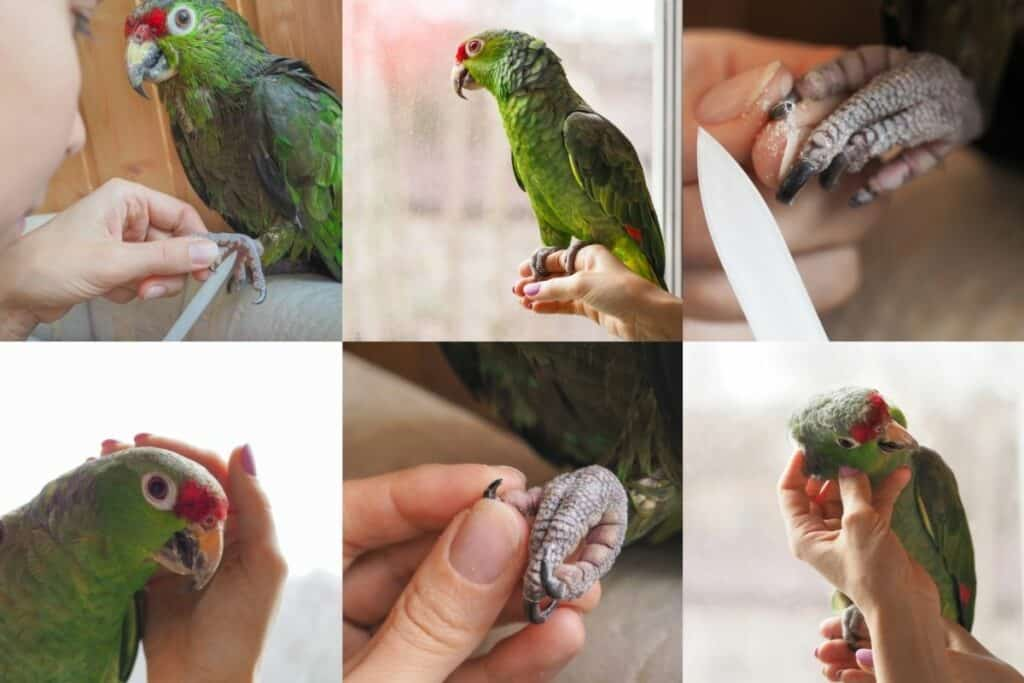 trimming parrots claws