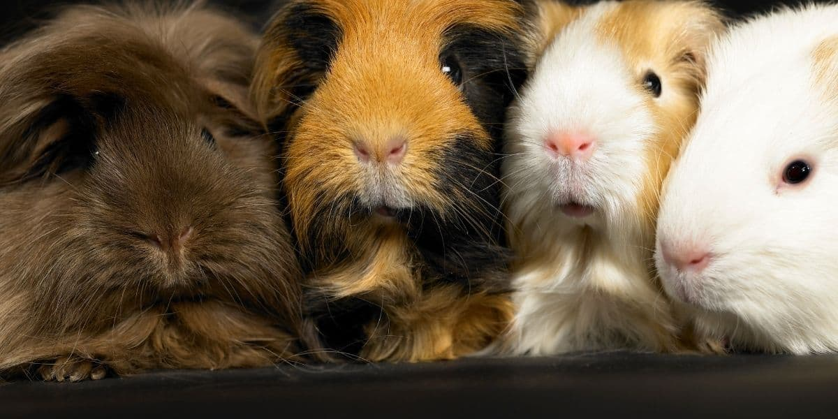 Group of Guinea Pigs Called
