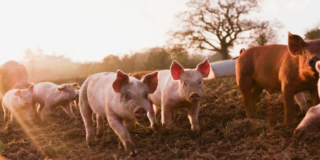 group of pigs