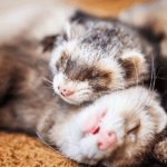 GROUP OF FERRETS