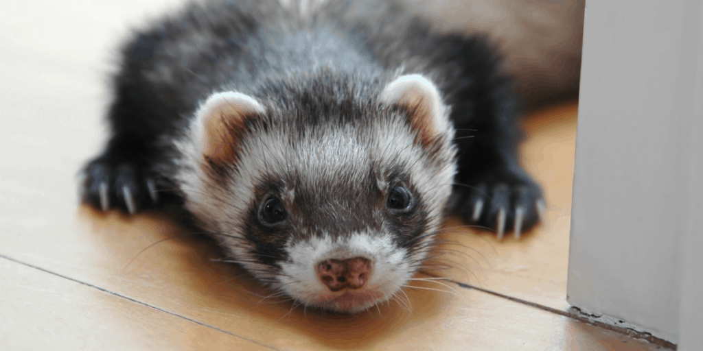What is a Group of Ferrets Called? 1