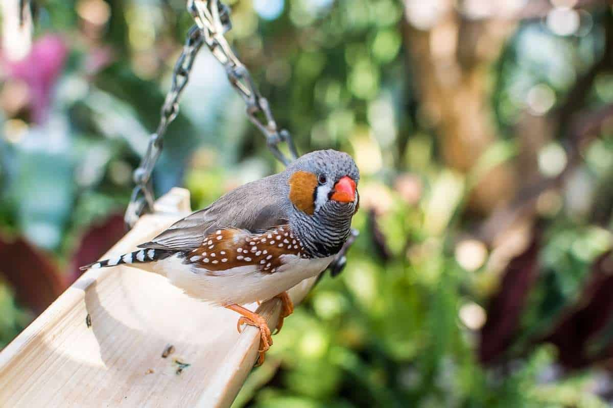 finches