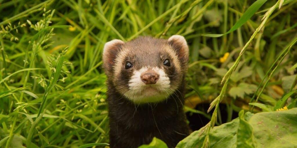 ferret in the wild