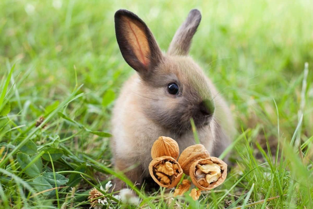 can rabbits eat walnuts
